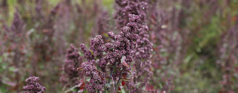 Ist Quinoa gesund und worauf ist zu achten?