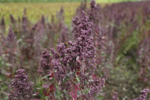 Hier wächst das Superfood Quinoa