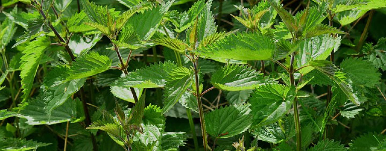 Heimische Heilpflanzen, die gut für unsere Gesundheit sind