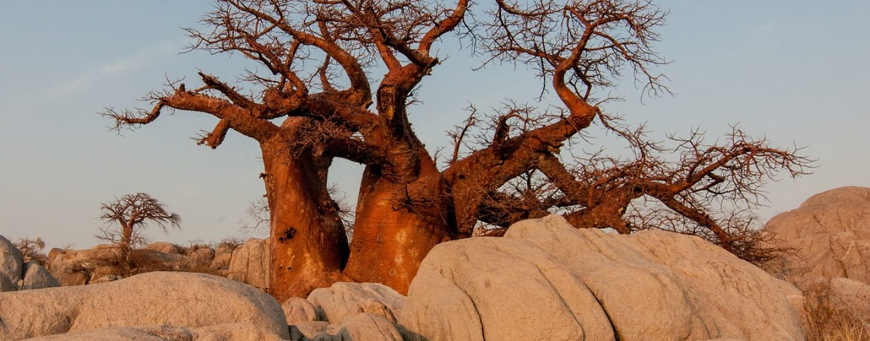 Baobab – Der afrikanische Affenbrotbaum und die besondere Baobab Frucht