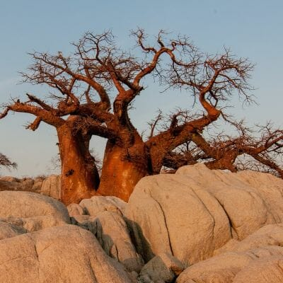 Baobabbaum