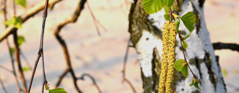 Birkenwasser – der (alte) neue gesunde Durstlöscher