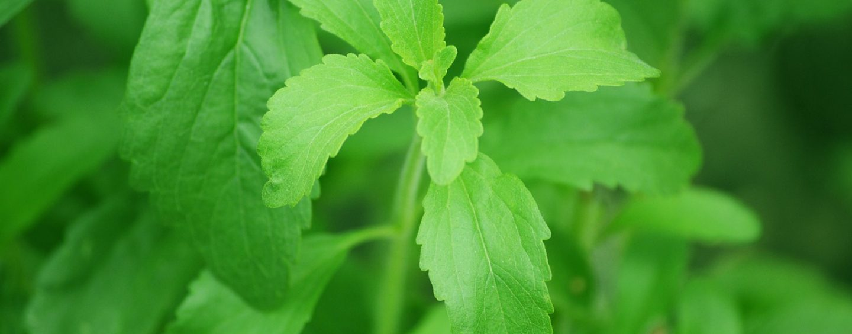 Stevia: Vor- & Nachteile sowie Verwendung der Stevia Pflanze