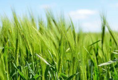 Gerstengrassaft – vom Gras zum Pulver zum Saft