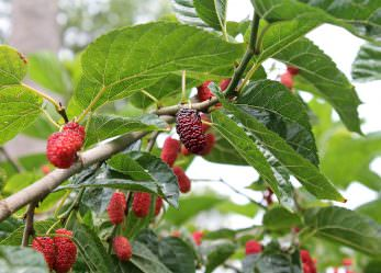 Maulbeere – Inhaltsstoffe und Wirkung der vielseitigen Beere
