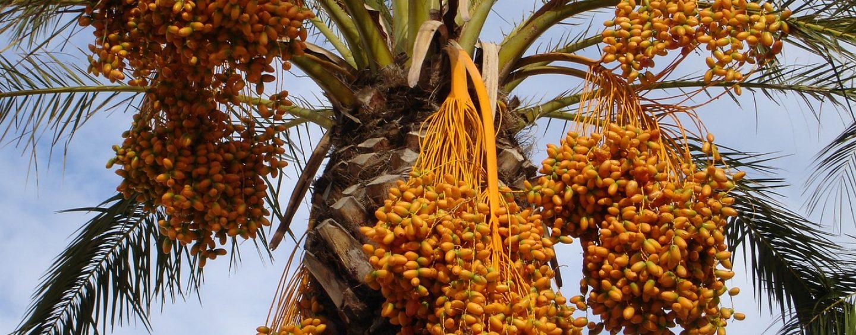 Datteln – Palmenfrüchte aus dem Orient mit dem Glückseffekt