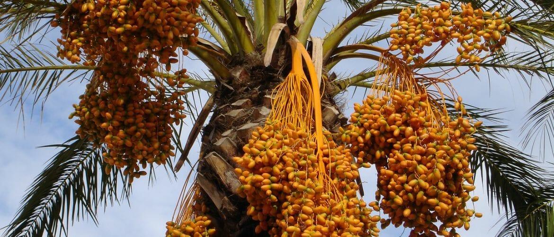 Datteln an der Palme