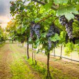 Traubenkernextrakt – Erstaunliche Antioxidantien aus Trauben genannt OPC