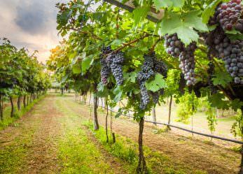 Traubenkernmehl – Wirkung und Anwendung