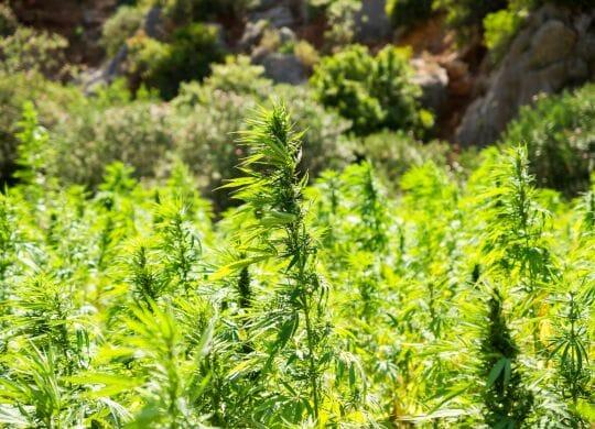 cannabis-2773112_1920(1)