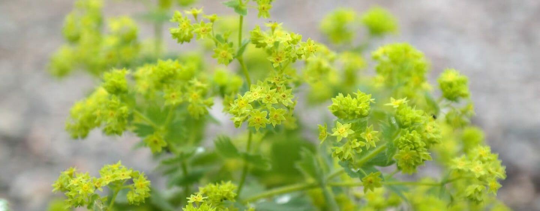 Frauenmantelkraut – die Heilpflanze für Frauen